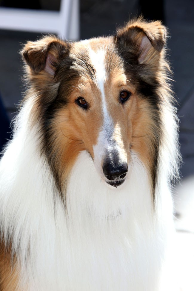 Lassie, so cute !